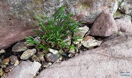 Asplenium septentrionale ? Nördlicher Streifenfarn, Gabel-Streifenfarn.